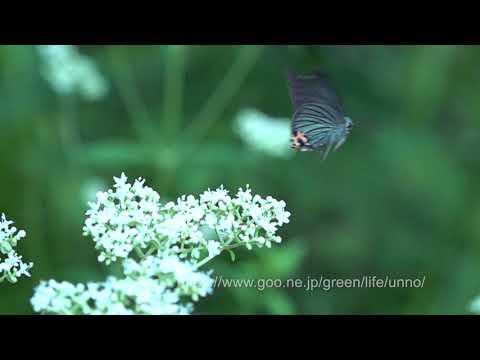 アオバセセリの飛翔をスロービデオ