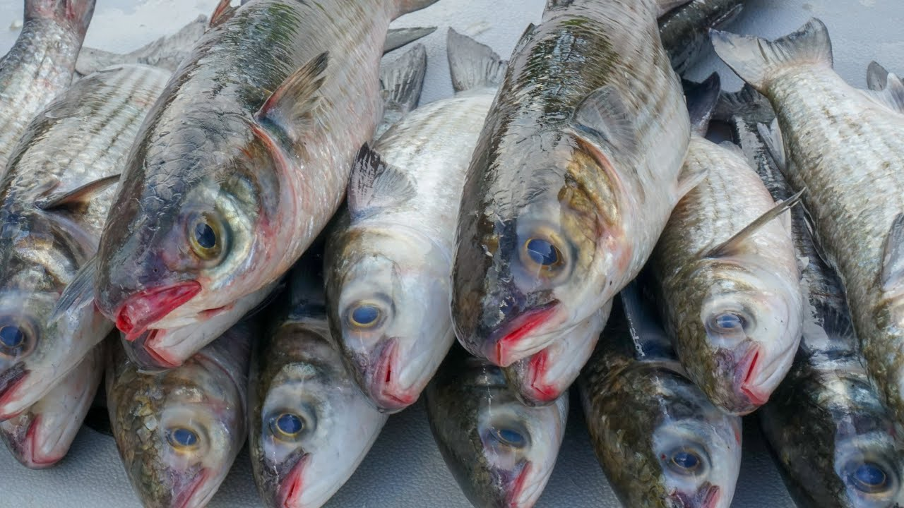 GIANT Bait Migration. MULLET! Catch Clean Cook (2020 Mullet Run)
