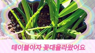 실내공기정화식물 테이블야자 키우는법(꽃대가 올라왔어요)Indoor Air Purification Plants Table Palm Pedestal Came Up