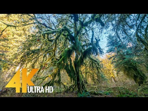 walking in the hoh rain forest 4k relax virtual nature walk