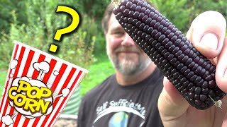 Does Homegrown Purple Popping Corn Pop Purple?