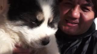 Вес щенка азиатской овчарки в  1,5 месяца?