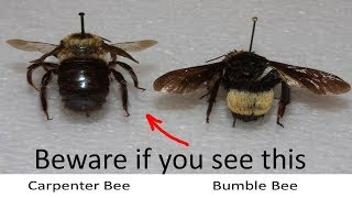 ⟹ Carpenter Bee | Xylocopa Virginica | They Can Cause A Lot Of Damage!