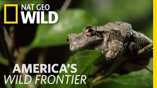 Defrosted Frogs Come Alive   America's Wild Frontier
