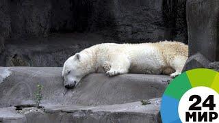 Медведица Снежинка поселилась в Ленинградском зоопарке - МИР 24