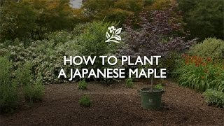 How To Plant A Japanese Maple