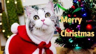 【花花与三猫】Christmas is over, male cats are also beginning to be forced to wear women's clothing