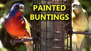 Painted Buntings at Bird Feeder Male & Female