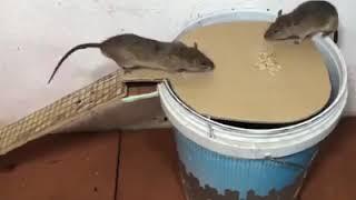 На какую приманку поймать крысу в мышеловку