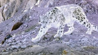 Elusive Snow Leopard Of The Himalayas | Planet Earth II
