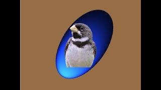 Corbatita. Canto. Descargar CD. Excelente. Download CD Sporophila Caerulescens