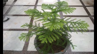 Araucaria Plant Care (Hindi) - How To Grow & Care Christmas Tree Plant In Pots - Araucaria Plant