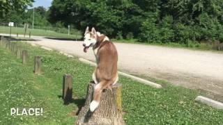 8-Month Old Husky, RJ! Husky Dog Trainers | Off Leash Husky Dog Training