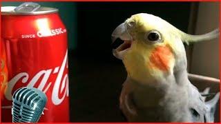 Смотреть самые смешные поющие попугаи! видео 2018 #5 видео приколы