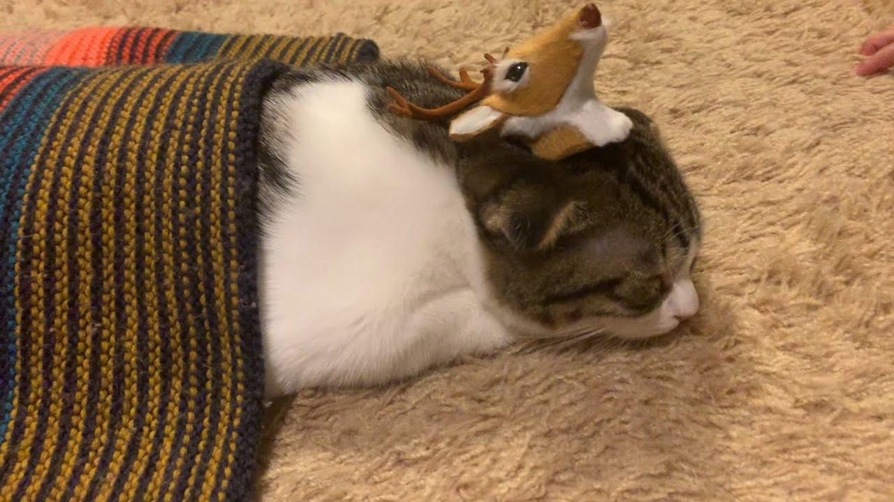 【子猫】お布団かぶってスヤスヤ眠る子猫【スコティッシュフォールド】