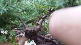 Bass n' Bonsai how and when to remove wire from tree
