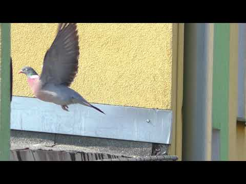 Замедленная съемка птицы в Польше Черный ДРОЗД