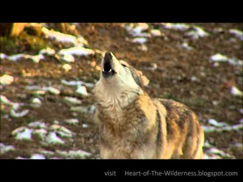 Awesome Wolf Howling Compilation