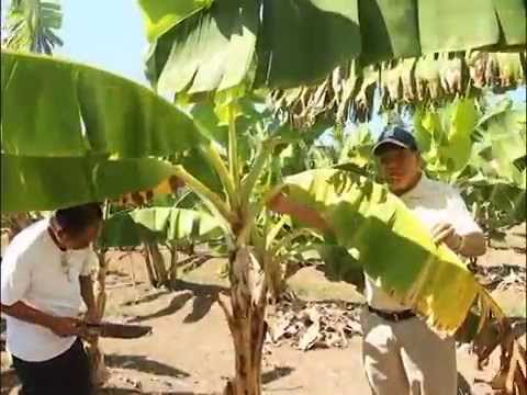Video Saving the Philippine Banana Industry from the Dreaded Panama Disease [Part 1/2]