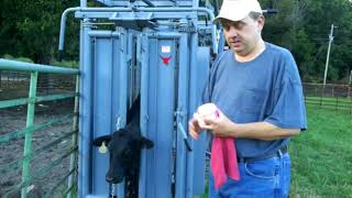 Working cattle in the New Squeeze Chute