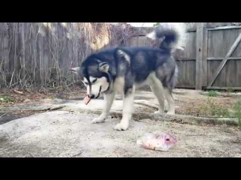 Malamute Carries His Raw Food Out To Eat Himself