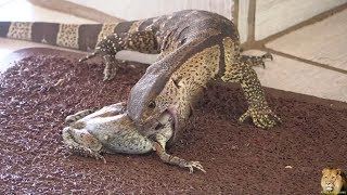 Small Monitor Lizard Catch And Swallow  Huge Frog