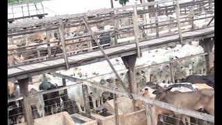 Leilão de gado no sindicato rural é retomado de maneira presencial.