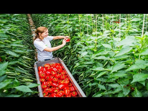 , title : 'Awesome Greenhouse Bell Pepper Farming - Modern Greenhouse Agriculture Technology