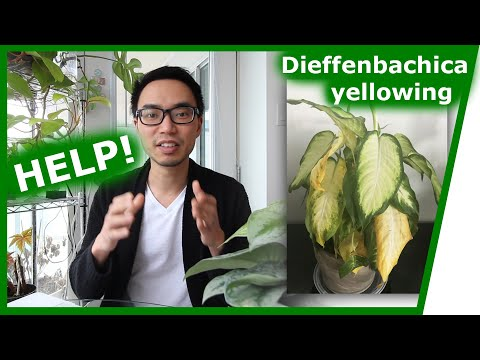 , title : 'Houseplant Q&A: Dieffenbachia yellowing, peace lily brown tips