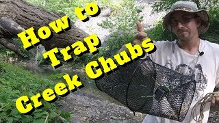 How to Trap Creek Chubs using Bread