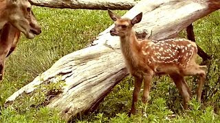 BAMBI E A FAMÍLIA cervos red deer elk animais fauna americana selvagem american américa