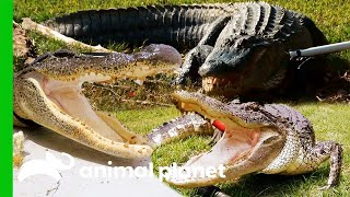 These Alligators Don't Give Up Without a Fight! | Lone Star Law by Animal Planet