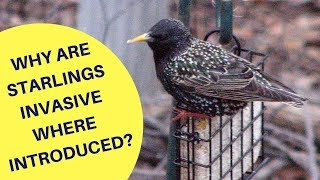 Why are Starlings an Invasive Species Where Introduced 2018