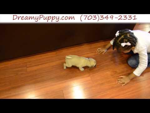 Loving Pocket Puggle Female Puppy