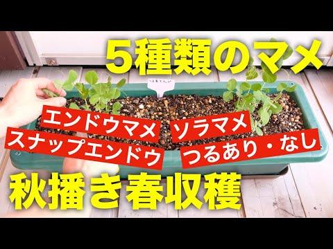 , title : 'エンドウ豆,スナップエンドウ,ソラマメのプランターでの育て方【種まきから間引きまでの方法】