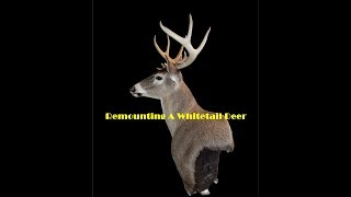 Remounting A Whitetail Deer Head - Part 1 Dismantling The Mount And Boiling Antler Skull Plate