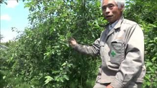 りんご摘果作業(成り枝更新剪定ー摘果の仕方)