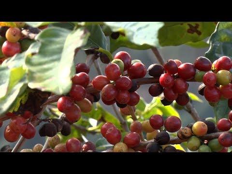 Em Bom Jardim, conheça como é feito o café que chega a sua xícara