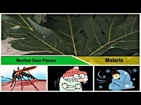 Video Obat Malaria: Menyembuhkan Penyakit Malaria dengan Ramuan Obat Herbal Daun Pepaya