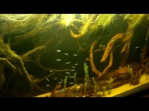 Cheirodon axelrodi (Neon Cardinale) in acquario amazzonico