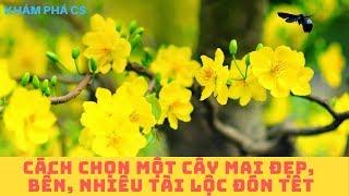 [Tết và mùa Xuân] Cách chọn một cây mai đẹp_bền_nhiều tài lộc đón tết