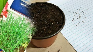 Planting Rosemary from seed