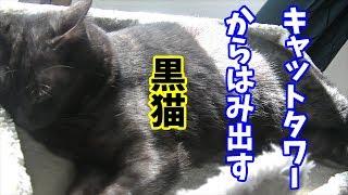 体が大きくてキャットタワーからはみ出す黒猫ゾロくん Big Black Cat