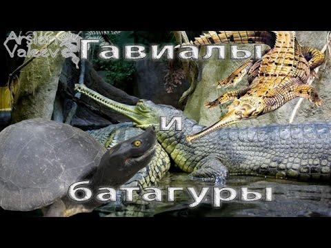 Гавиалы и батагуры (Зоопарк Праги)