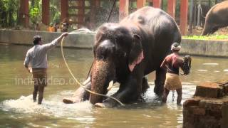 Elephant Bathing in Guruvayoor, Kerala