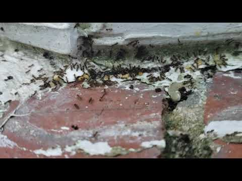 Close Up of Odorous House Ants Eating Our Bait in Spring Lake, NJ
