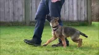 Puppy Schutzund / IPO Obedience Training