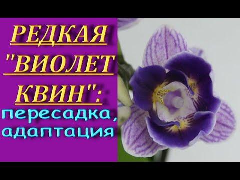 """РЕДКАЯ орхидея """"ВИОЛЕТ КВИН"""":пересадка+САДОВЫЙ ВАР+адаптация.Phalaenopsis 'Violet Queen',торф.стакан"""