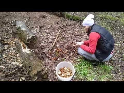 Собираем грибы.Пик сезона строчков