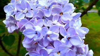 Сирень. Голубая Сирень. Цветы Сирени. Красивые Цветы Сирени. Футаж Сирень. Футажи для видеомонтажа